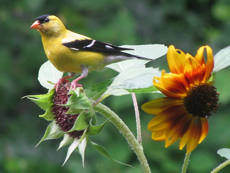 sunflower-goldfinch1
