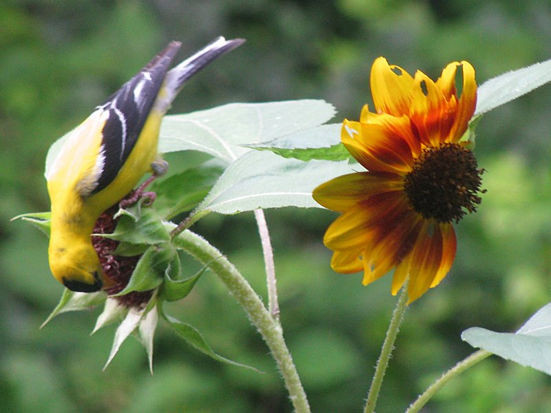 sunflower-goldfinch2