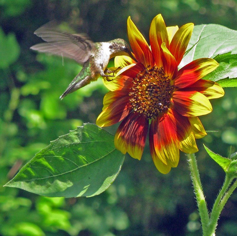 sunflower-hummer